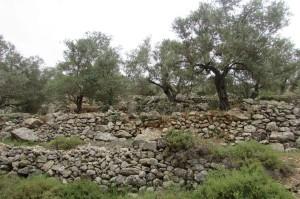 Olive grove in Ramallah, Palestine