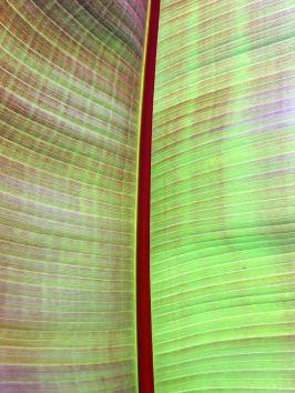 biltmore leaf
