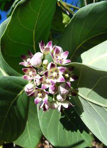 San Juan flower