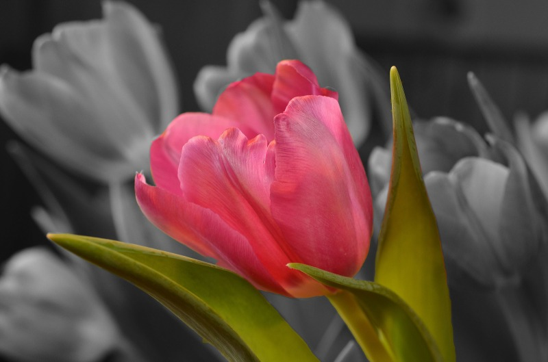 tulip-blooming