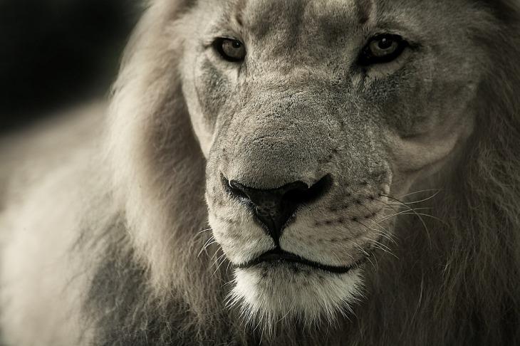 lion-588144_1280